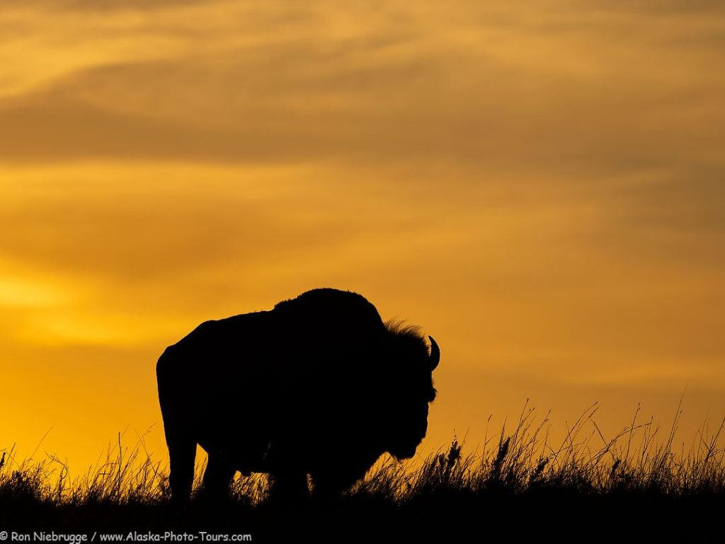 Bison, Maxwell Wildlife Refuge, Kansas.