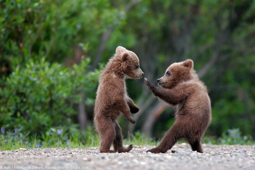 Two brown bear cubs.