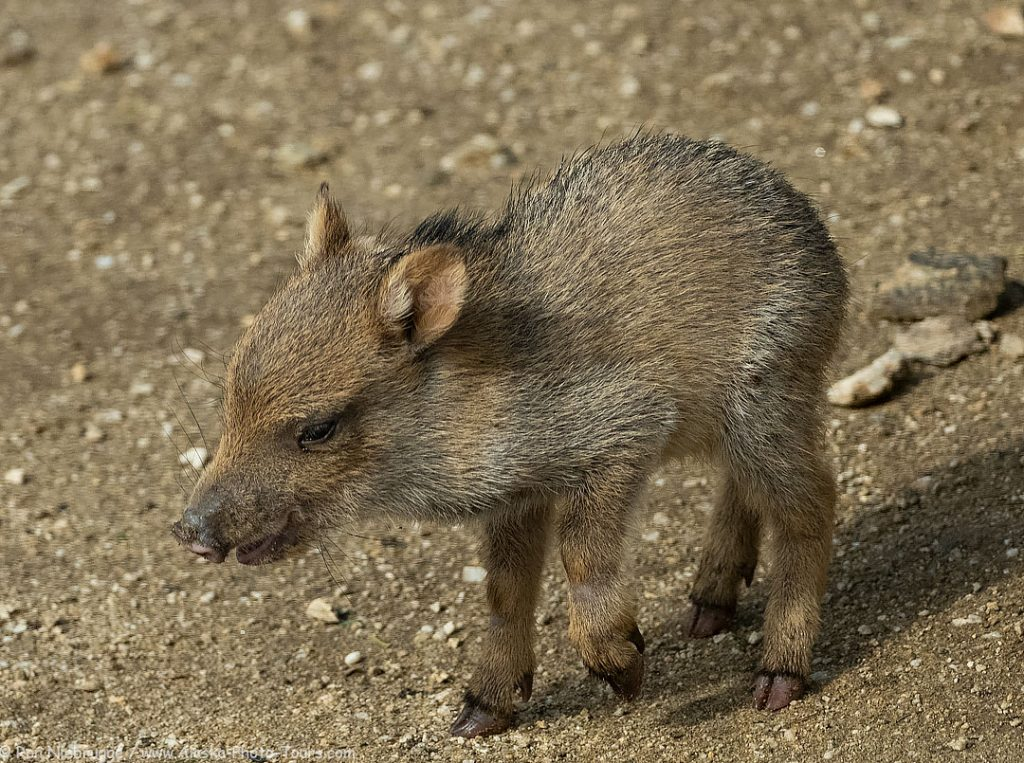 A baby javelina at the Desert Photo Retreat near Tucson, Arizona.