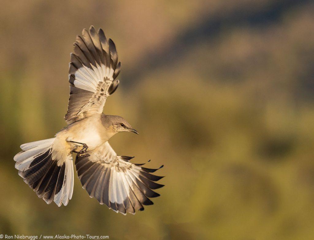 Northern Mockingbird at the Desert Photo Retreat, near Tucson, Arizona.