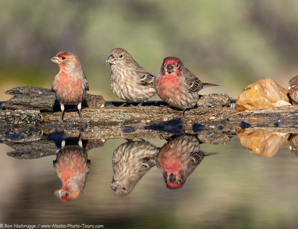 House finch, Desert Photo Retreat, Arizona.