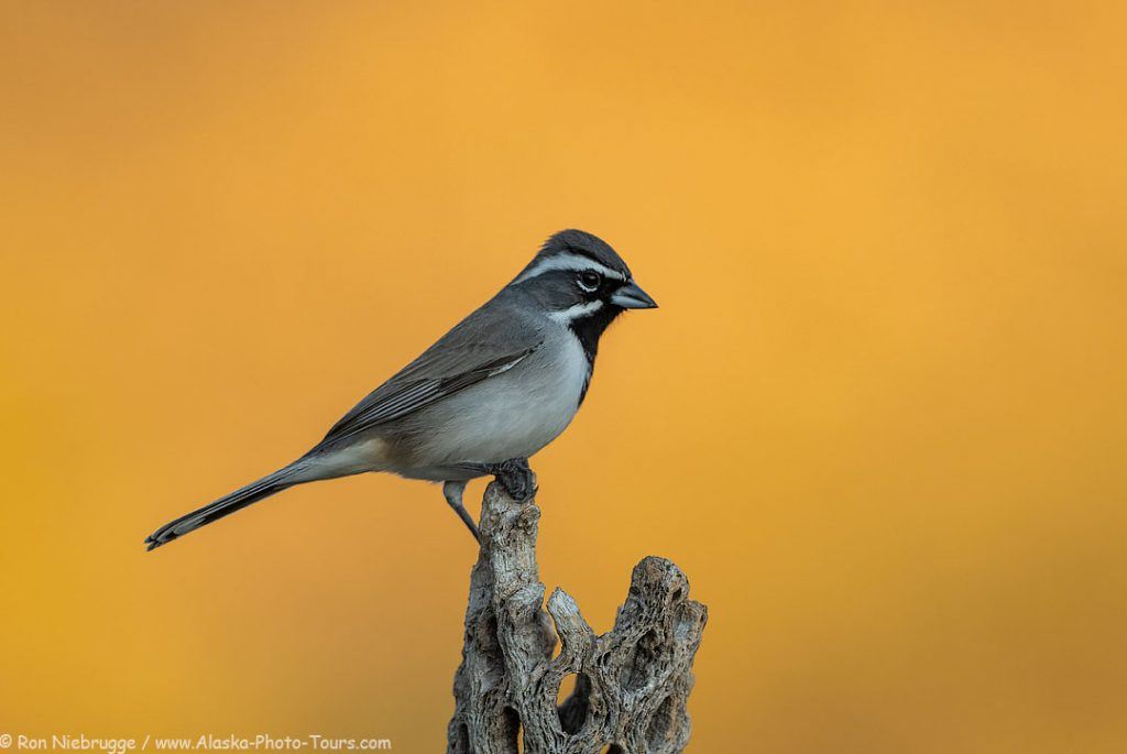 Black-throated sparrow, Desert Photo Retreat, Arizona.