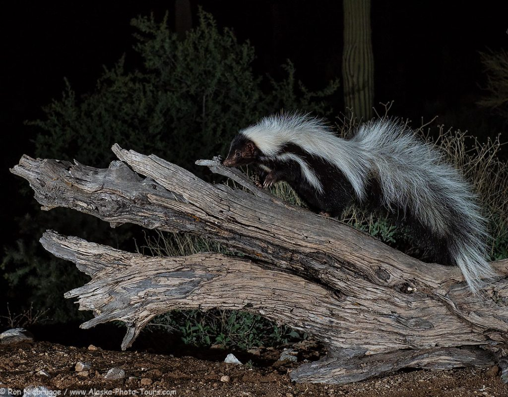 Hooded skunk, Desert Photo Retreat, near Tucson, Arizona.