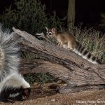 Ringtail and skunk