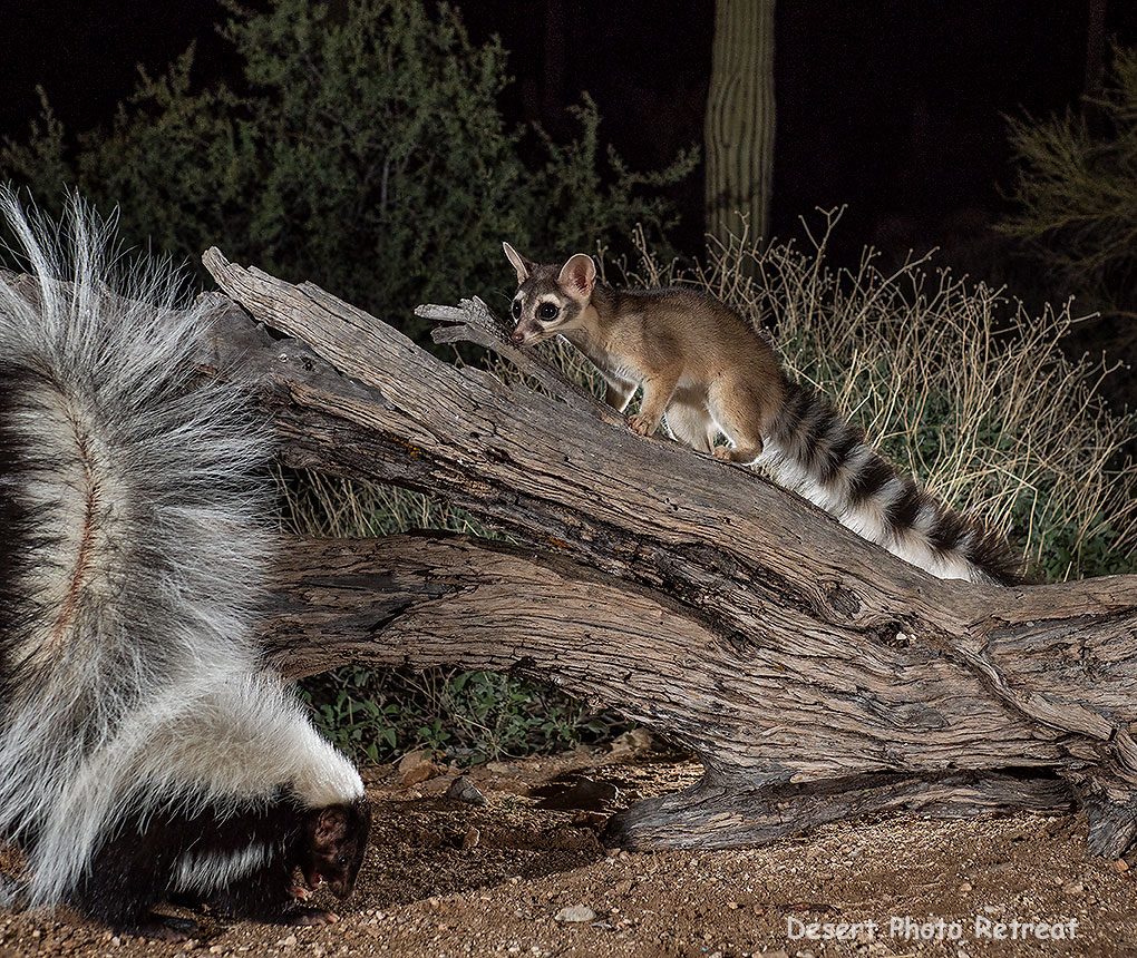 A ringtail and hooded skunk, Desert Photo Retreat, near Tucson, Arizona.