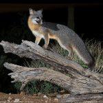 More Fox!
