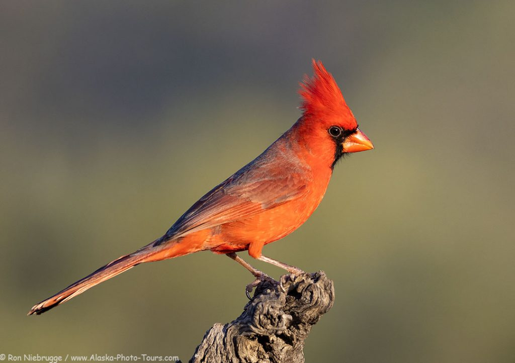 Northern Cardinal, Desert Photo Retreat, Arizona.