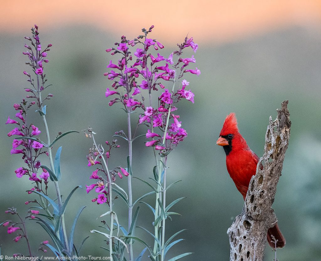 A cardinal last night at the Desert Photo Retreat, near Tucson, Arizona.