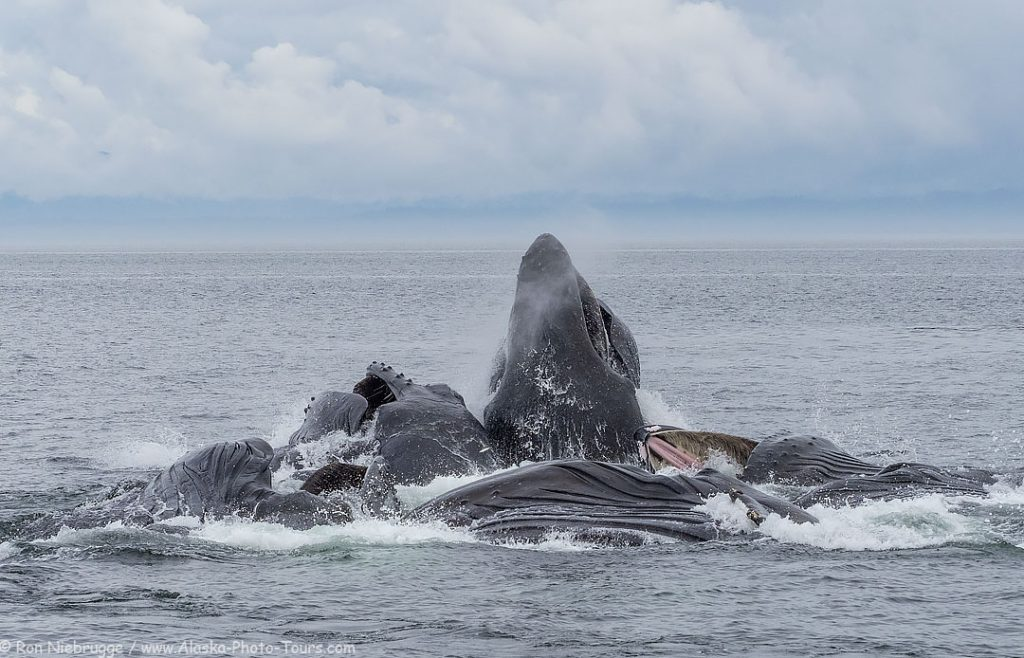 Humpback whales cooperatively feeding, Southeast, Alaska.