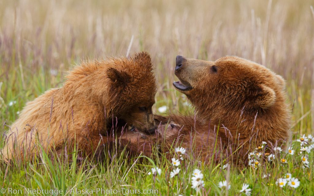 Brown / Grizzly Bear nursing, Lake Clark National Park, Alaska.