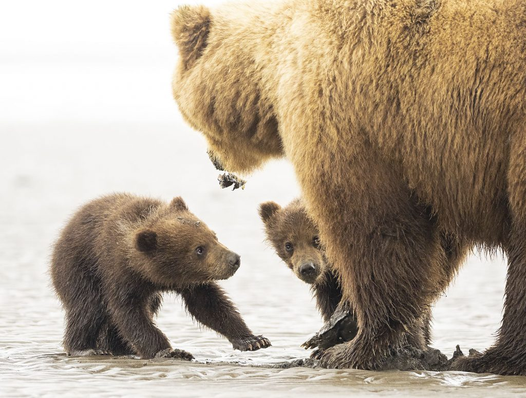 A brown bear sow with spring cubs.