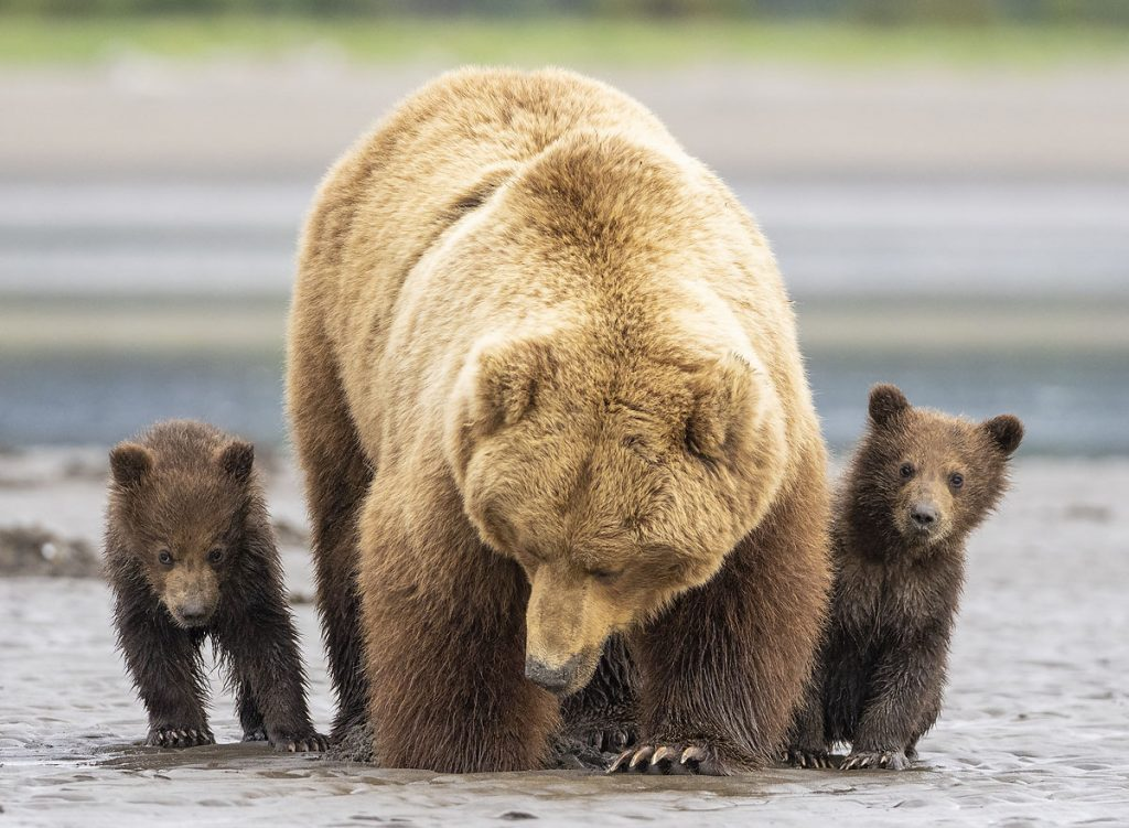 A brown bear sow with two spring cubs digging for a clam.