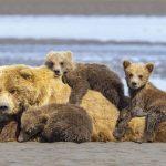 So Many Cubs!