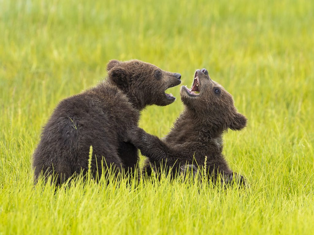 Brown bear cubs.