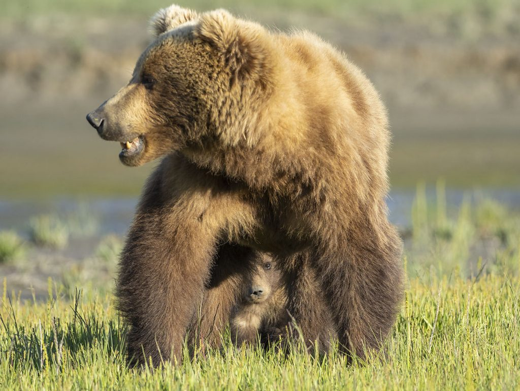 Brown bear sow with cub.
