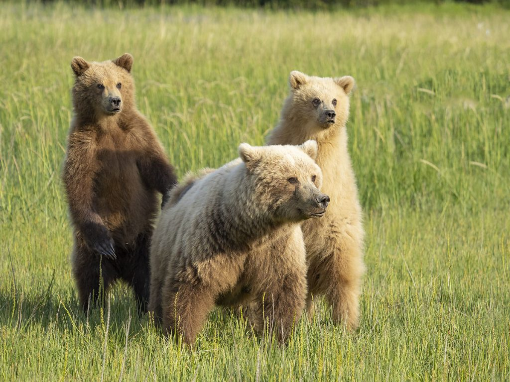 Brown bear sow with two cubs, Lake Clark National Park, Alaska.