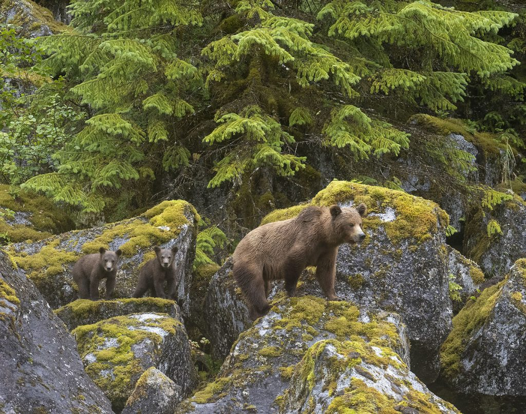 Brown bear sow with spring cubs.