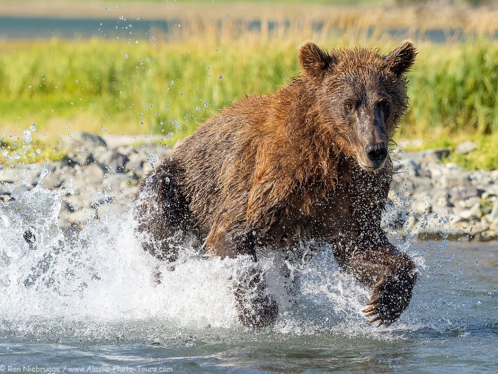 Brown bear chasing a salmon in Geographic Harbor, Katmai, Alaska.