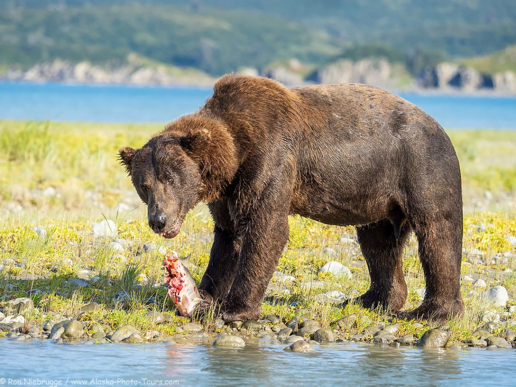 Brown bear boar, Kukak Bay, Katmai National Park, Alaska.