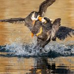 Tufted Puffin Battle