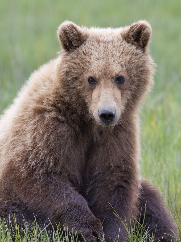 Brown bear cub.