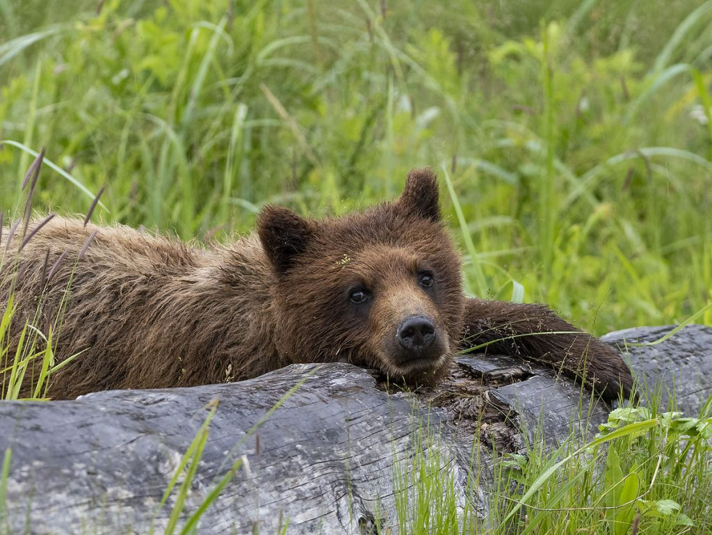 Bear cub, Pack Creek Bear Observatory, Tongass National Forest, Alaska.