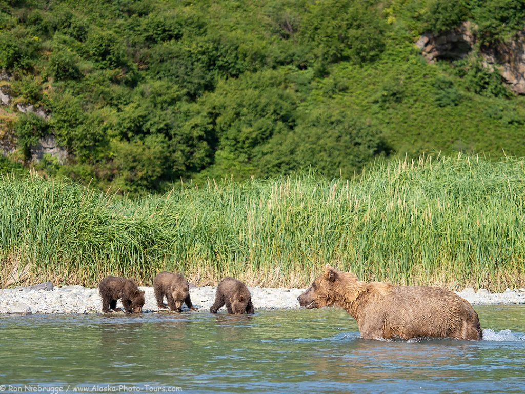 Brown bear sow and 3 spring cubs, Katmai National Park, Alaska.