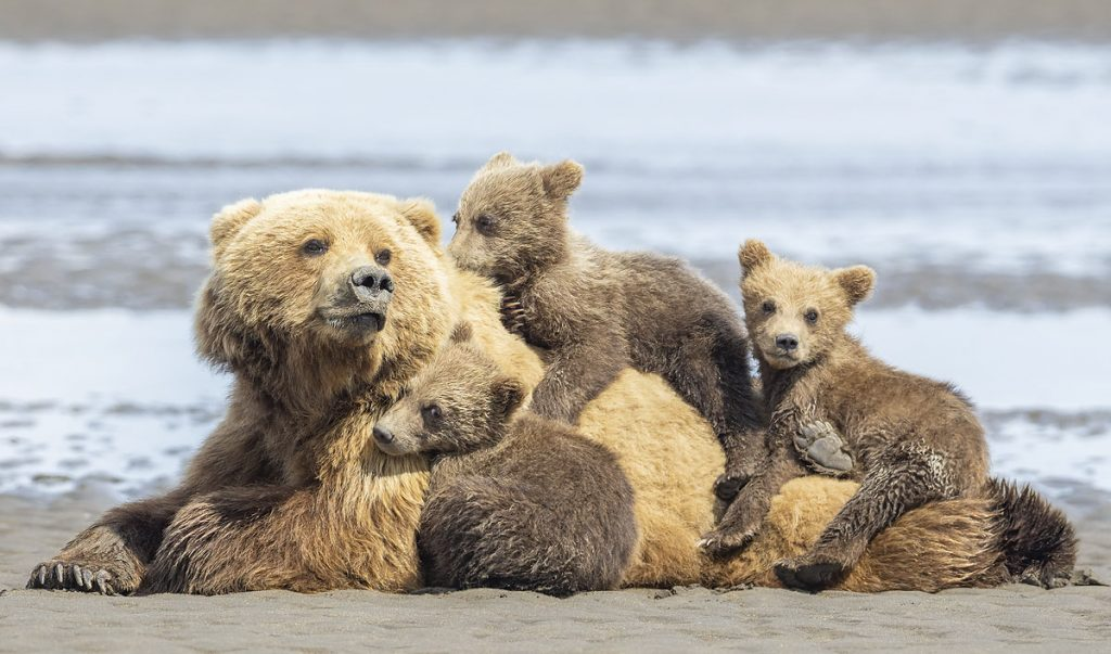Brown bear sow with first summer cubs.
